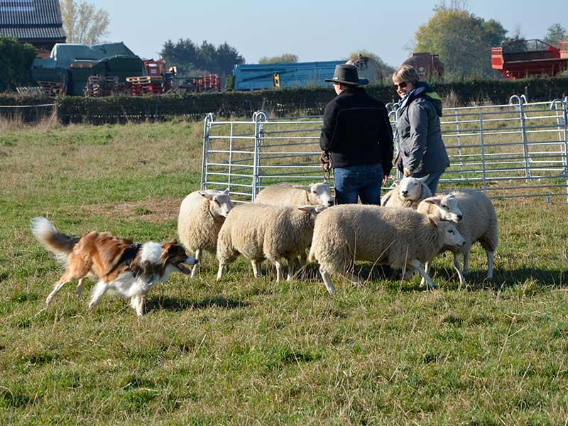 Initiation au travail sur moutons